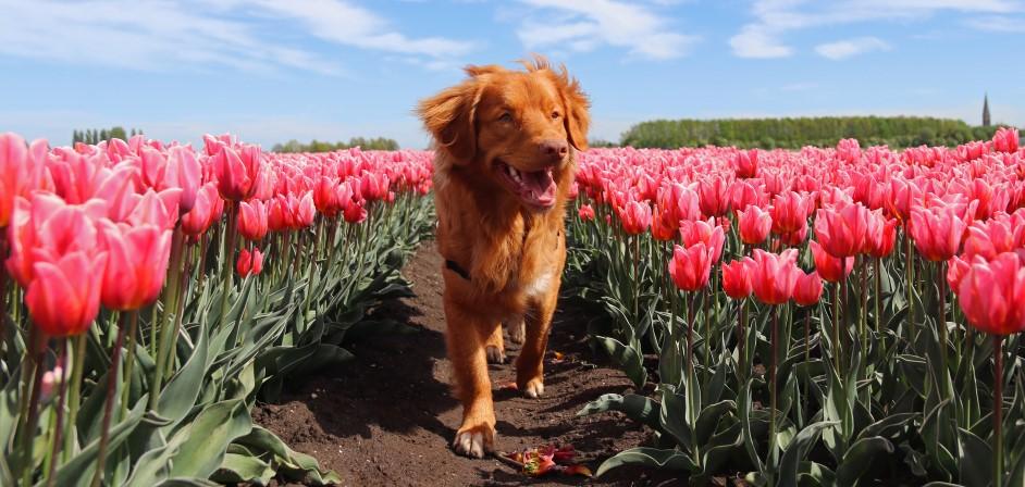 Pes medzi tulipánmi