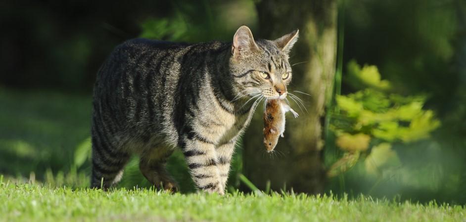 Mačka loví