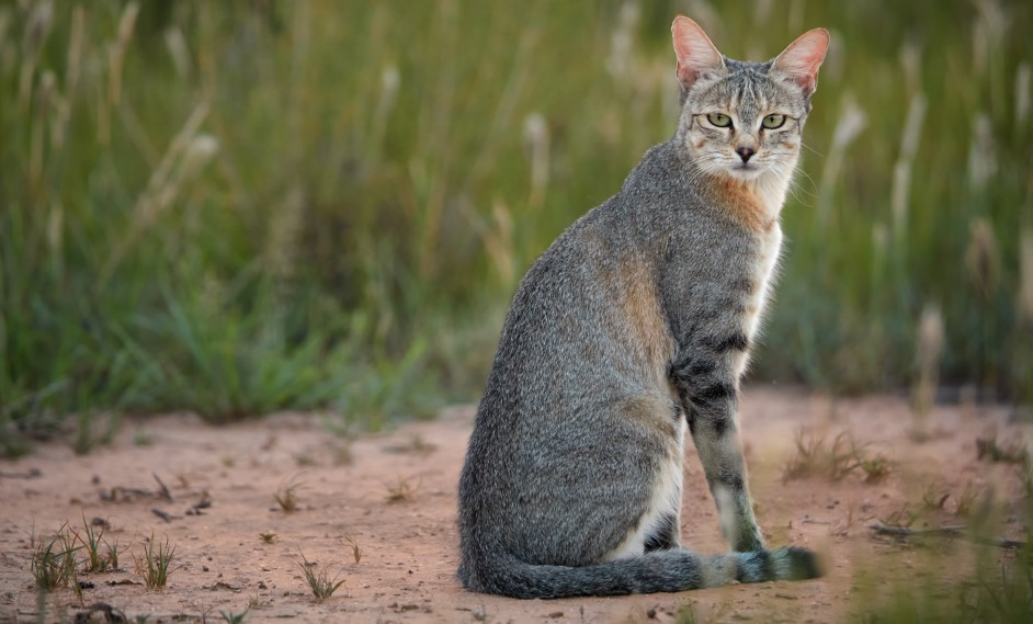 Divoká mačka